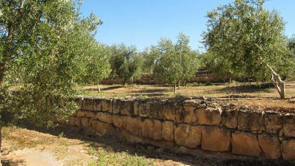 campos de olivos variedad Arbequina de Les Garrigues foto de terceros sacada de La Vanguardia