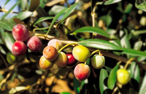 variedad de oliva Arbequina Les Garrigues